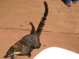 Hungry coati chasing me!