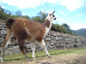 Llamas at the top of the ruins
