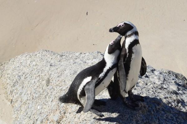 Cuddly penguins