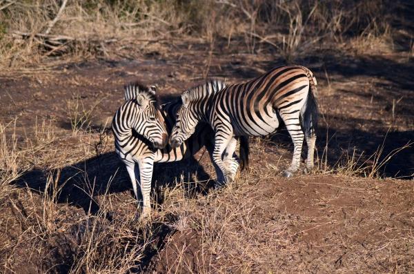 Zebra kisses