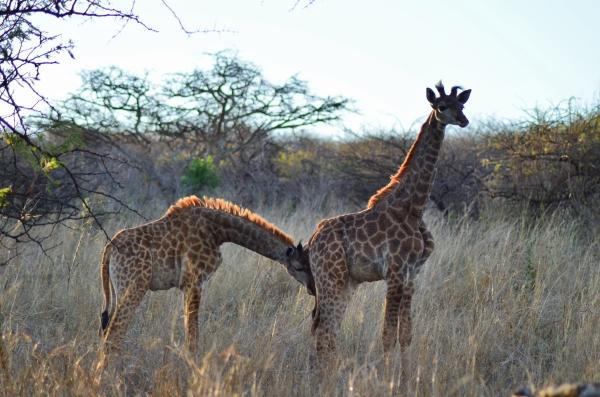 Snuggly giraffes