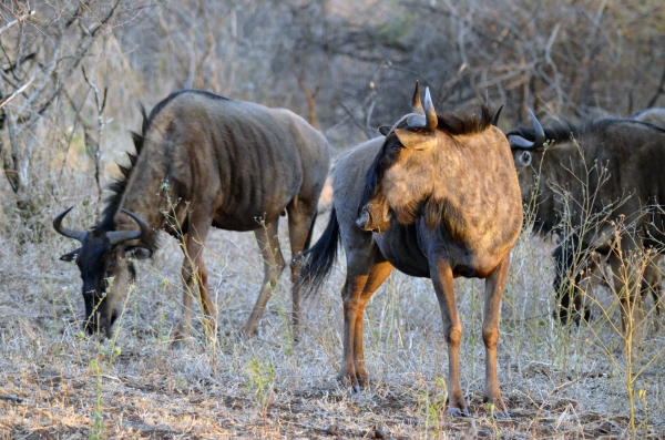 Wildebeest at Zulu Nyala, South Africa