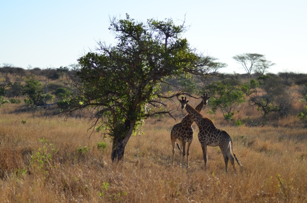 Giraffe pair at Zulu Nyala, South Africa