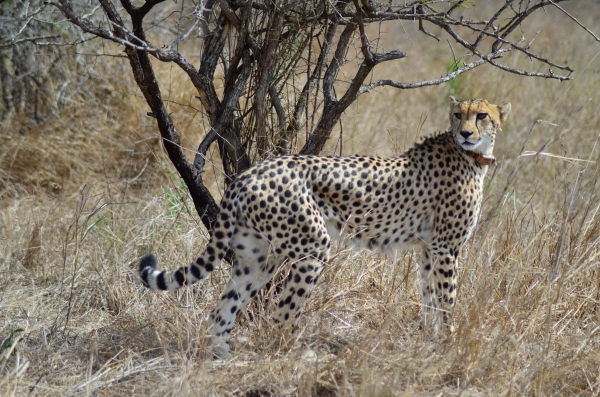 Female cheetah in Zulu Nyala