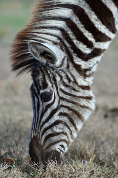 Zebra up close at Zulu Nyala Heritage