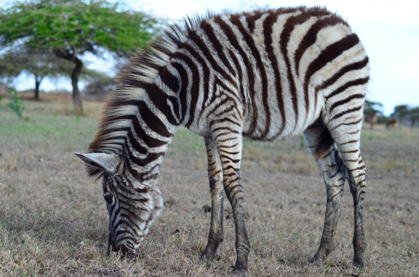 Baby zebra, Zulu Nyala, South Africa