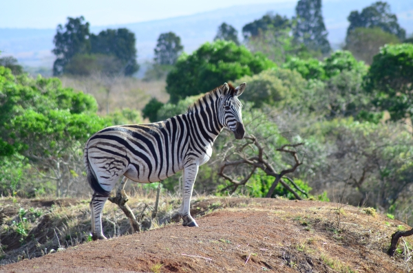 Zebra at Zulu Nyala