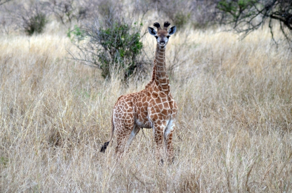 Baby giraffe in Zulu Nyala