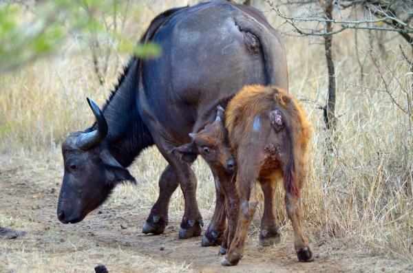 Baby African buffalo in Zulu Nyala