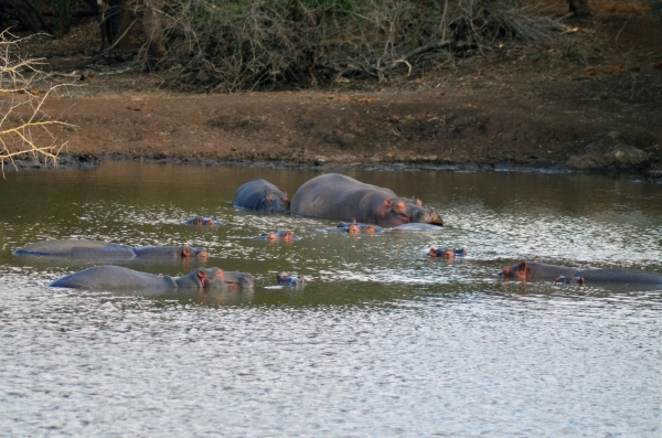 Hippos in Zulu Nyala