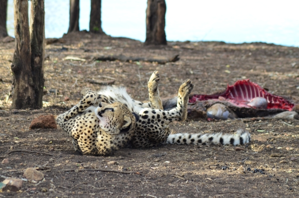 Cheetah post-kill in Zulu Nyala