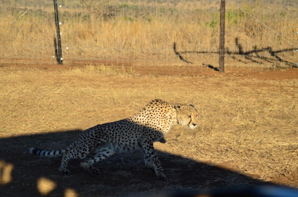 Male cheetah lounging in our safari shado
