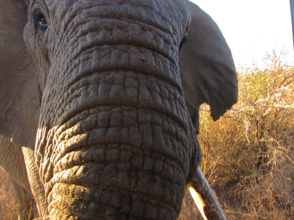 Elephant getting super close at Zulu Nyala